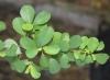 Flueggea virosa (Roxb. ex Willd.) Royle