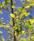 Flueggea virosa (Roxb. ex Willd.) Royle, fleurs