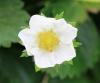 Fragaria x ananassa (Weston) Duchesne ex Rozier