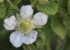 Rubus rosifolius Sm