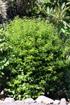 Brunfelsia uniflora. Franciscéa.