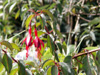 Fuchsia de Magellan, Ti zanneau