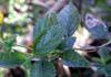 Galabert, Corbeille d'or : feuilles