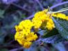 Galabert Corbeille d'or : fleur