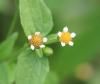 Galinsoga à petites fleurs
