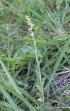 Gamochaeta purpurea (L.) Cabrera.