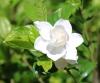 Gardenia jasminoides. Gardénia majestueux. Jasmin du Cap.