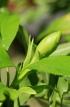 Gardenia jasminoides J.Ellis.