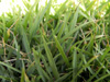Zoysia matrella (L.) Merr