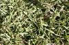 Zoysia matrella (L.) Merr. Gazon bord de mer.