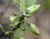 Geniostoma borbonicum. Fleur et fruits.