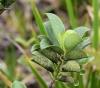 Geniostoma borbonicum. Feuilles.