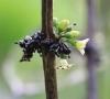 Geniostoma borbonicum (Lam.) Spreng.