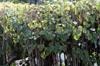 Polyscias guilfoylei, Géranium aralia