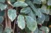 Géranium aralia