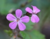Geranium robertianum L