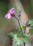 Geranium robertianum L. Herbe à Robert.