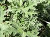 Géranium rosat Plante à parfum Huile essentielle