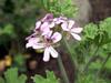 Géranium Rosat : fleurs