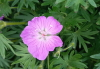 Geranium sanguineum L