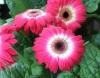 Fleur Gerbera.