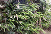Gingembre coquille, Fleur coquillage. Alpinia zerumbet.
