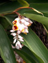 Inflorescence : Gingembre coquille, Fleur coquillage. Alpinia zerumbet.