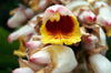 Alpinia zerumbet B.L. Burtt et R.M. Sm