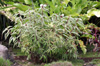Cheilocostus Speciosus variegatus. Gingembre crêpe panaché