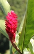 Alpinia purpurata, gingembre rouge