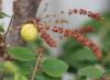 Phyllanthus acidus (L.) Skeels