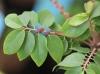 Feuilles et fleurs Phyllanthus acidus.