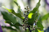 Syzygium aromaticum (L.) Merr. & L.M.Perry