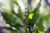 Clou de girofle. Giroflier. Syzygium aromaticum (L.) Merr. & L.M.Perry