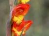 Gladiolus dalenii Van Geel