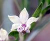 Gomphocarpus physocarpus E. Mey. Fleur.
