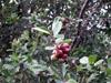 Goyavier fraise. Psidium cattleianum Sabine.