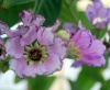 Lagerstroemia speciosa (L.) Pers
