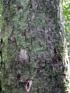 Mimusops balata (Aubl.) C.F. Gaertn. Grand natte.