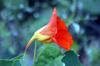Tropaeolum majus. Fleur avec son éperon