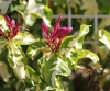 Graptophyllum pictum (L.) Nees ex Griff