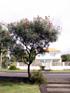 Grévillaire rouge ou Grevillea de Banks, Grevillea banksii