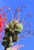 Grevillea banksii R. Br Grévillaire rouge
