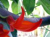 Mucuna warburgii, Liane Griffes du diable Liane de jade rouge