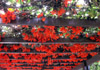 Mucuna warburgii, Liane Griffes du diable Liane de jade rouge.