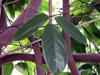 Mucuna warburgii, Griffes du diable Liane de jade rouge.