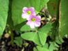 Fleurs : Gros-Trèfle ou oxalis à feuilles larges, Oxalis latifolia Kunth
