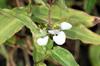 Fleur Commelina benghalensis
