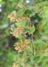 Guazuma ulmifolia Lam.