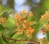 Fleurs Guazuma ulmifolia Lam.